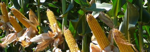 HSR Seeds Hybrid Maize Research Cobs
