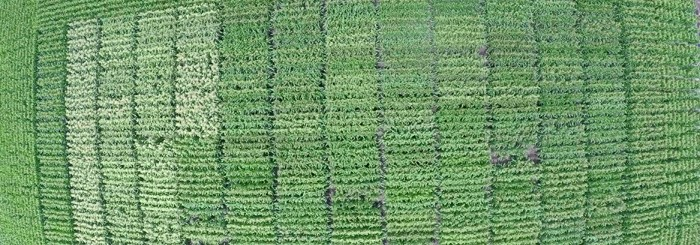 Drone image of HSR maize research variety testing at Warwick QLD