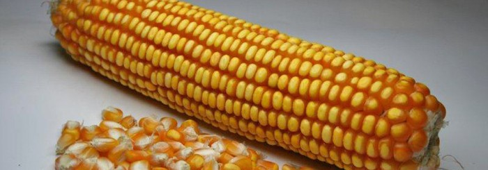 HSR Seeds Hybrid Maize Research Kernels