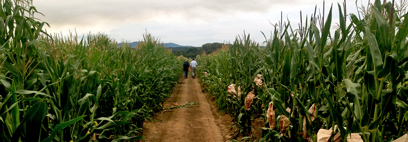 HSR Seeds Hybrid Maize Research Crop